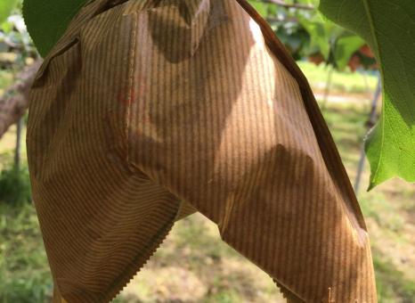 新興梨の袋掛け