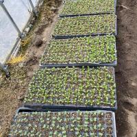 野菜苗作り